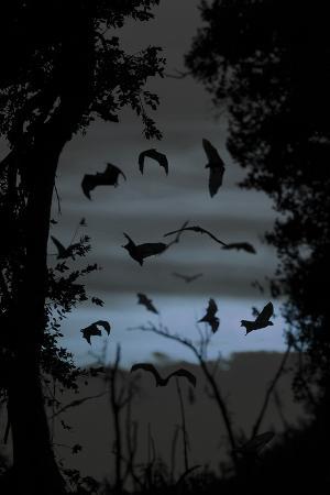 nick-garbutt-straw-coloured-fruit-bats-eidolon-helvum-returning-to-daytime-roost-at-dawn