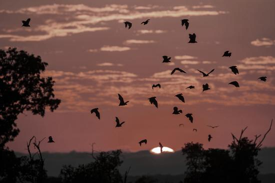 nick-garbutt-straw-coloured-fruit-bats-eidolon-helvum-returning-to-daytime-roost-at-sunrise
