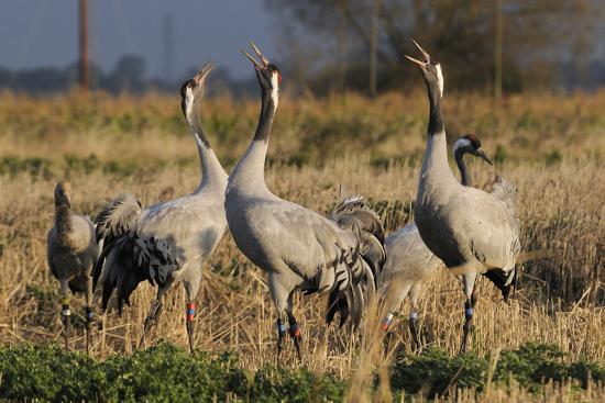 nick-upton-common-eurasian-cranes-grus-grus-juveniles-calling-in-barley-stubble-field-at-dawn-somerset-uk