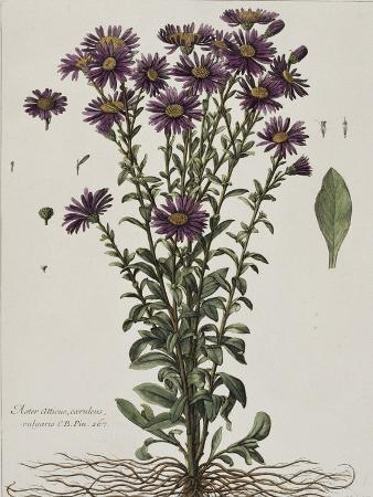 nicolas-robert-aster-a-fleur-mauve