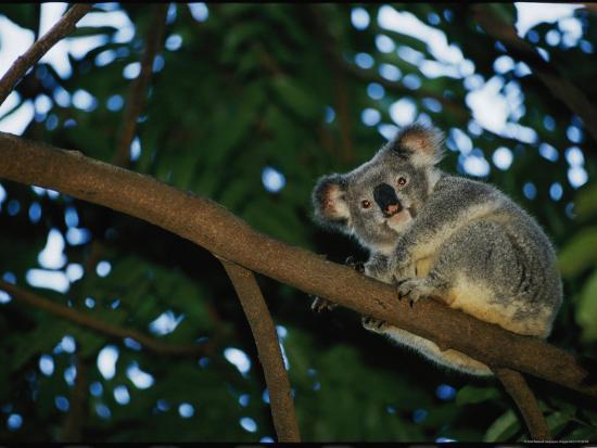 nicole-duplaix-a-koala-bear-clings-to-a-eucalyptus-tree-in-eastern-australia
