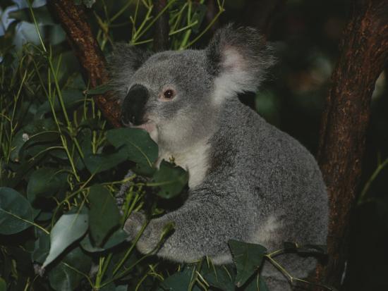 nicole-duplaix-a-koala-clings-to-a-eucalyptus-tree-in-eastern-australia