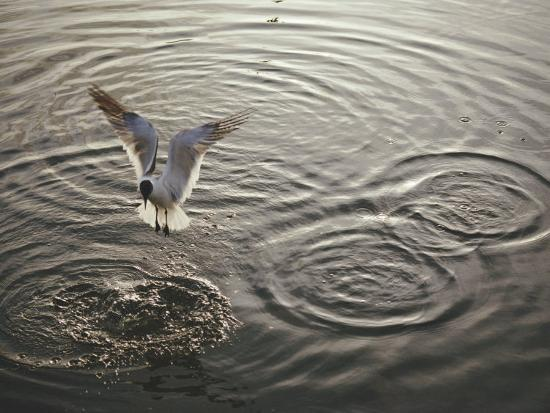 nicole-duplaix-a-laughing-gull-fishes-in-florida-bay