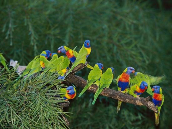 nicole-duplaix-brightly-colored-lorikeets-perch-on-a-tree-branch