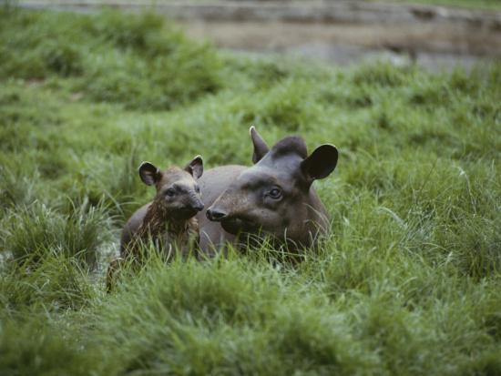 nicole-duplaix-mother-and-juvenile-brazilian-tapirs-in-the-marsh-grass