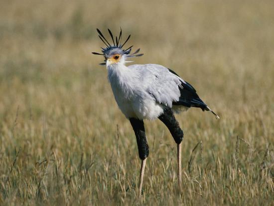 nicole-duplaix-secretary-bird