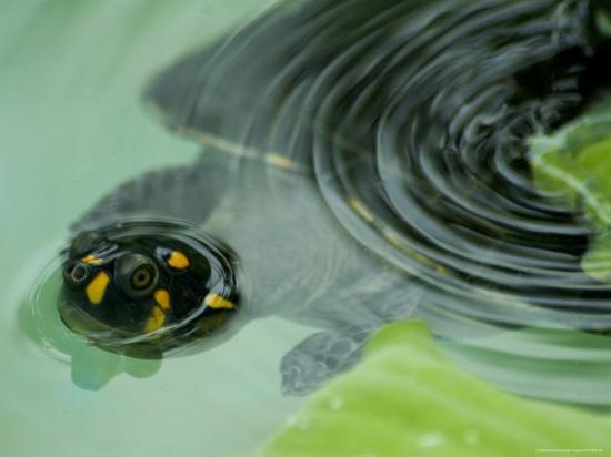 nicole-duplaix-yellow-spotted-amazon-river-turtle-in-balbina-lake