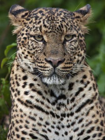 nigel-pavitt-a-fine-leopard-oblivious-to-light-rain-in-the-salient-of-the-aberdare-national-park