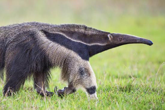 nigel-pavitt-brazil-pantanal-mato-grosso-do-sul-the-giant-anteater-or-ant-bear