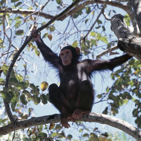 nigel-pavitt-chimpanzee-sitting-in-the-forest-canopy-mahale-mountains-eastern-shores-of-lake-tanganyika