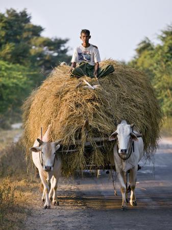 nigel-pavitt-myanmar-burma-bagan-a-farmer-takes-home-an-ox-cart-load-of-rice-straw-for-his-livestock