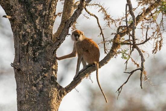 nigel-pavitt-uganda-kidepo-a-patas-monkey-in-the-kidepo-valley-national-park