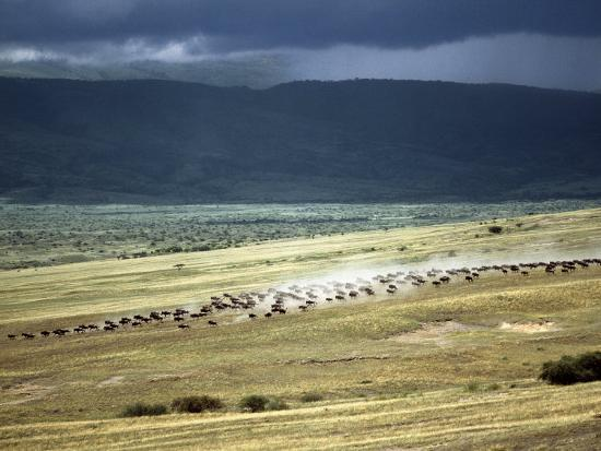 nigel-pavitt-wildebeest-stampede-on-the-dry-grassy-plains-on-the-west-side-of-the-ngorongoro-highlands