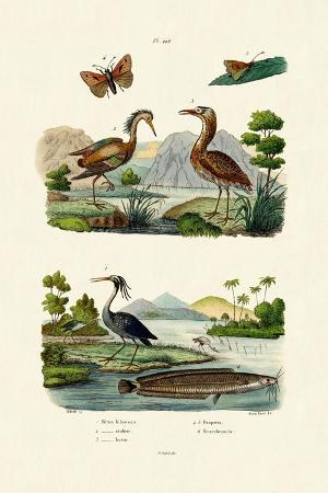 night-heron-1833-39