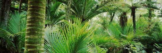 nikau-palm-trees-in-a-forest-kohaihai-river-oparara-basin-arches-karamea-south-island