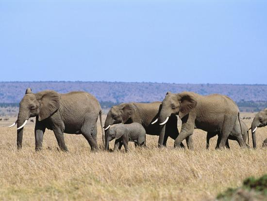 norbert-rosing-a-group-of-african-elephants