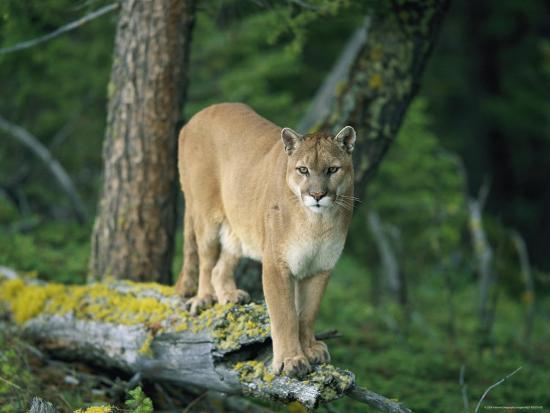 norbert-rosing-a-mountain-lion-balances-on-the-trunk-of-a-fallen-tree