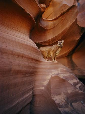 norbert-rosing-a-mountain-lion-pauses-on-a-ledge-inside-a-swirled-rock-chasm