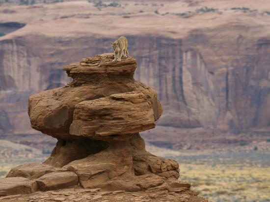 norbert-rosing-a-mountain-lion-walks-atop-a-circular-rock-formation