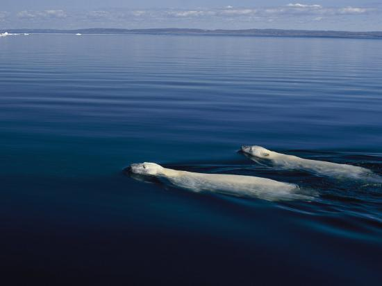 norbert-rosing-a-pair-of-polar-bears-swimming-in-the-waters-of-wager-bay