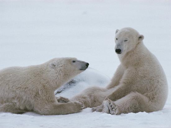 norbert-rosing-a-pair-of-polar-bears-ursus-maritimus-sit-in-a-snowy-landscape
