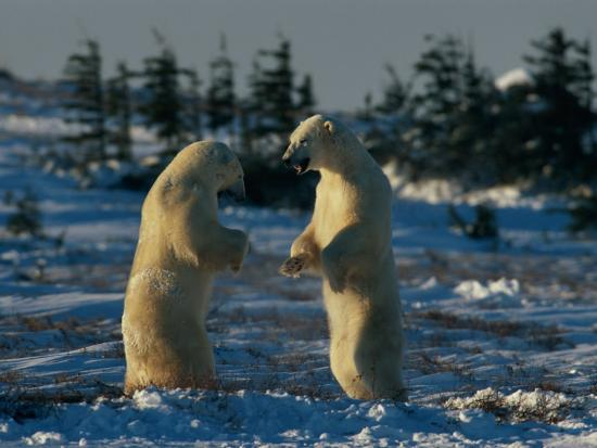 norbert-rosing-a-pair-of-polar-bears-ursus-maritimus-stand-on-their-hind-legs-prepared-to-wrestle-one-another