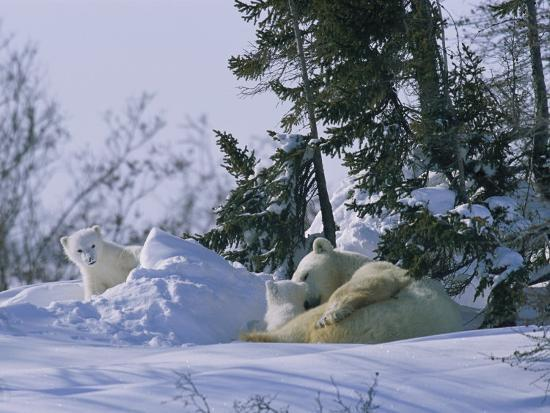 norbert-rosing-a-polar-bear-cub-peeks-from-a-snow-drift-as-mother-and-twin-cub-rest