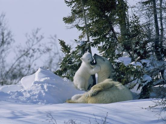 norbert-rosing-a-polar-bear-cub-plays-with-its-resting-mother-near-a-snow-drift