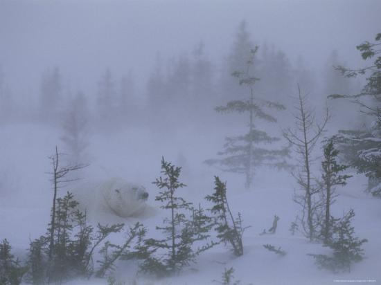 norbert-rosing-a-polar-bear-rests-amid-evergreen-trees-in-an-autumn-blizzard