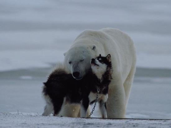 norbert-rosing-a-polar-bear-ursus-maritimus-and-a-husky-cuddle-up-to-each-other-in-the-snow