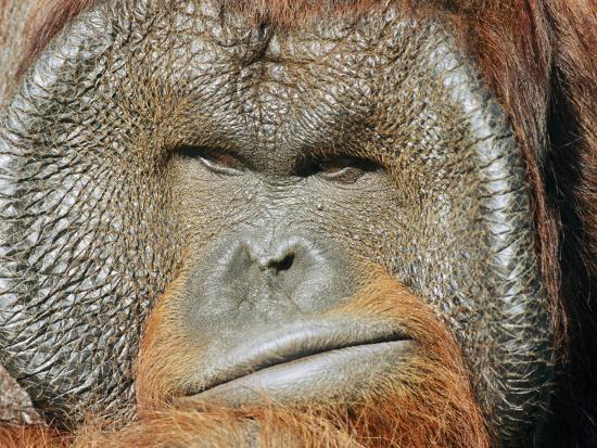 norbert-rosing-a-portrait-of-a-captive-male-orangutan