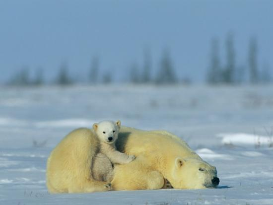 norbert-rosing-a-sleepy-polar-bear-mother-ursus-maritimus-serves-as-a-protective-bed-for-her-cub