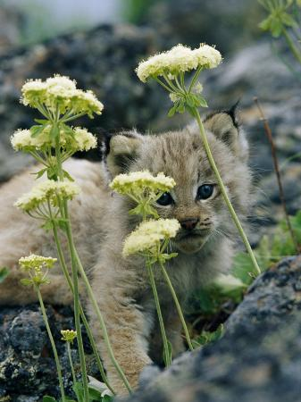 norbert-rosing-a-tiny-lynx-cub-peeks-out-through-a-clump-of-wildflowers