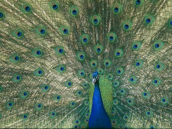 norbert-rosing-a-view-of-an-indian-peacock-with-tail-feathers-spread