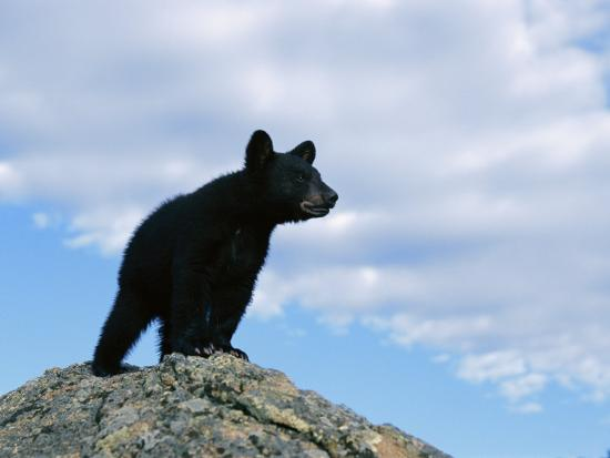 norbert-rosing-a-young-american-black-bear-surveys-the-countryside-from-atop-a-boulder