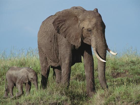 norbert-rosing-an-african-elephant-with-her-calf