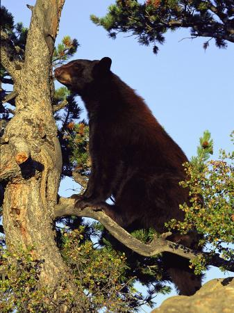 norbert-rosing-an-american-black-bear-stands-in-a-tree