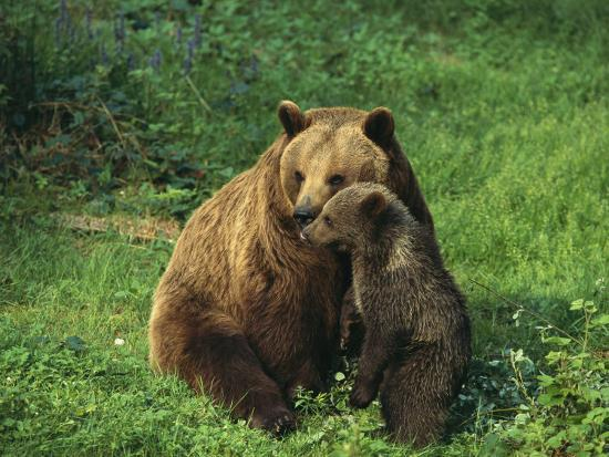 norbert-rosing-brown-bear-with-cub-bayerischer-wald-national-park-germany