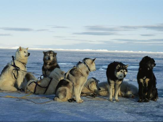 norbert-rosing-dogsled-dogs-harnessed-and-ready-to-head-out-with-their-musher