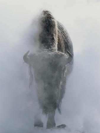 norbert-rosing-ghostly-bison-in-steam-during-winter-yellowstone-national-park