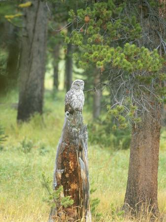 norbert-rosing-great-gray-owl-on-tree-stump-yellowstone-national-park