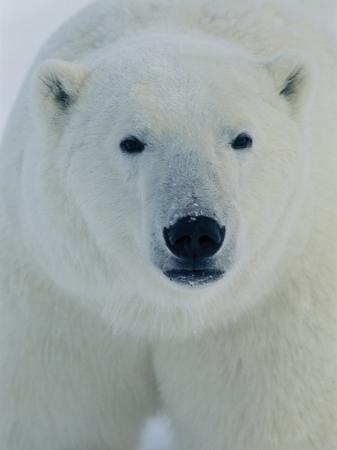 norbert-rosing-head-shot-of-a-polar-bear