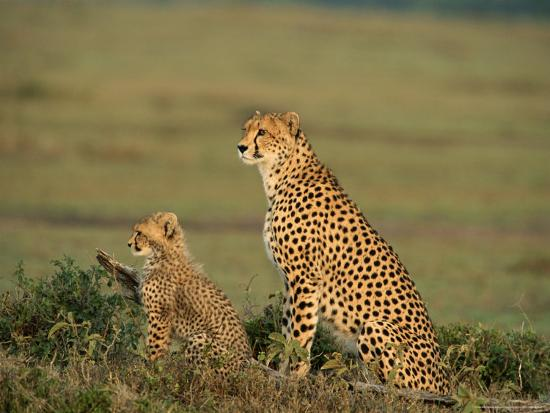 norbert-rosing-mother-cheetah-and-her-young-look-out-onto-the-landscape