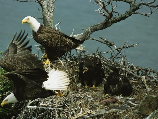 norbert-rosing-northern-american-bald-eagles-and-young-in-their-nest
