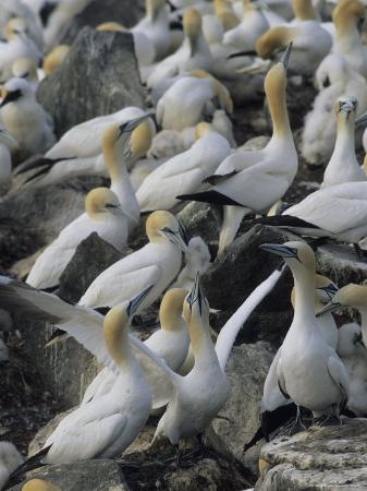 norbert-rosing-northern-gannets-and-chicks-roost-on-cliffs-above-the-atlantic-ocean
