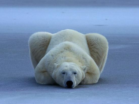 norbert-rosing-polar-bear