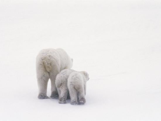 norbert-rosing-rear-view-of-a-polar-bear-and-her-two-cubs
