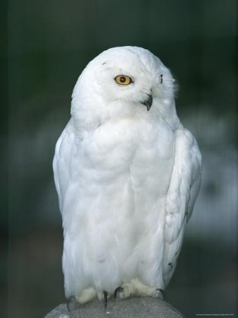 norbert-rosing-snowy-owl-perches-atop-a-rock