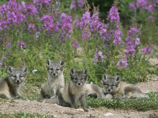 norbert-rosing-this-den-near-churchill-had-13-arctic-fox-pups