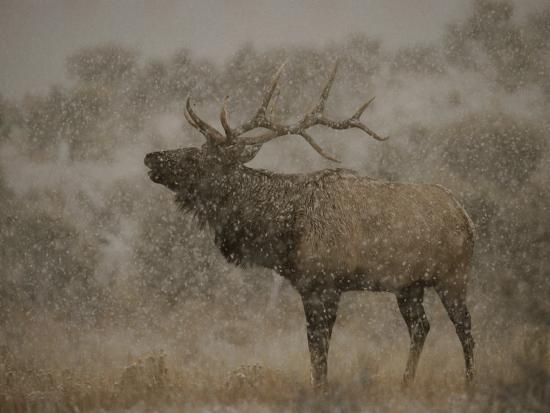 norbert-rosing-wapiti-or-elk-male-amidst-falling-snow